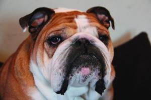 PORTERHOUSE, Drake's former live mascot, passed away in December 2013. His former owner, Erin Bell, has been named the new live mascot coordinator to find his replacement. FILE PHOTO.